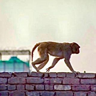 El Terrorífico Mono 🐒 Alcoholico y Asesino (y me agarro el Temblor)