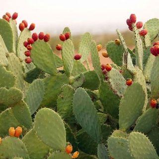 El nopal mexicano