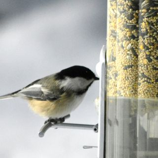 Black-Capped Chickadees! (Part 1)