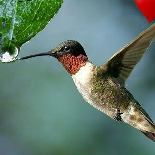 La goccia del colibrì