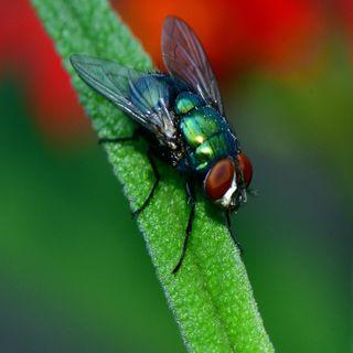 Le mosche non portano il Covid!