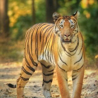 Tiger Conservation | Project Tiger | UPSC CSE