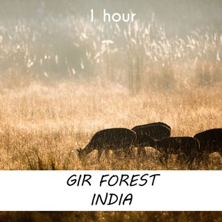 Gir Forest India | 1 hour FOREST Sound Podcast | White Noise | ASMR sounds for deep Sleep | Relax | Meditation | Colicky