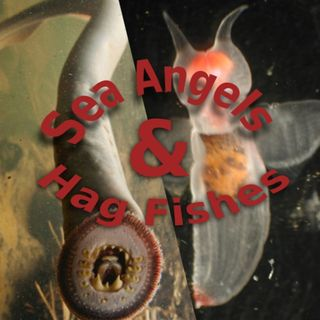 Ocean Lovin' 2020 - Sea Angels and Hagfish