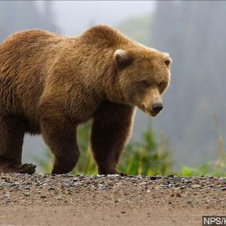 Alaska guide pleads guilty to herding bears toward clients