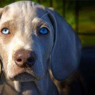 Quale razza di cani evitare se..parte 3