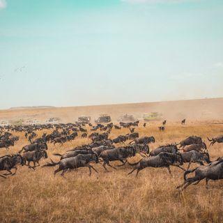 63 - La grande Migrazione degli Gnu in Africa: il monumento vivente che si sposta. WORLD AFRICA DAY - Zoologia