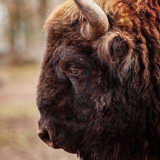 Buongiorno in connessione al bisonte, preghiera e abbondanza! ✨