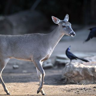 White Deer Now Available for Public Viewing