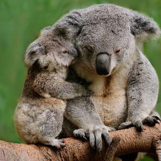 Allarme koala nell'Australia orientale