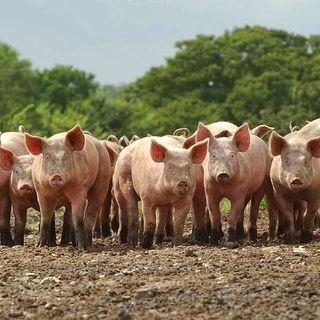 A Herd of Swine