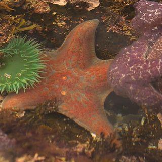 Is Alaska Safe For Sea Stars?