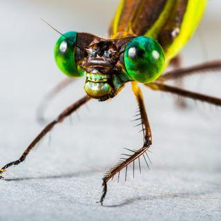 85 - Perché gli insetti fanno schifo (e i granchi no)?
