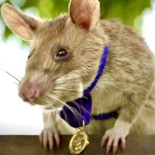La Rata con Medalla (y No es Mickey)