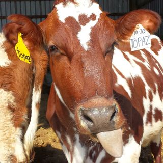 EBE 2 - Raw Milk: Don't Drink the Moo-shine.