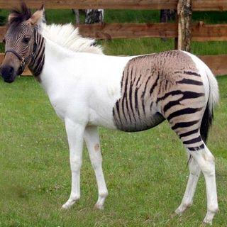 Coyolobo, Zebrasno, Ligre, Tigon, Beefalo... 🧐 Increíbles Animales Creados por el Hombre