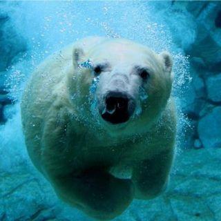 Quanti orsi polari sono rimasti sulla Terra