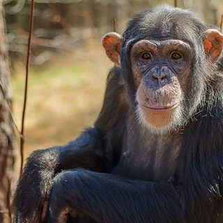 Chimpanzee retirement gains momentum, and x-ray 'ghost images' could cut radiation doses
