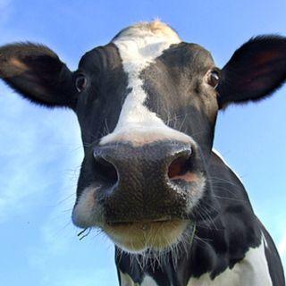 INTELLIGENZA ARTIFICIALE - Una mucca mangiadati