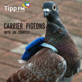 Joe Connelly talks about Carrier Pigeons