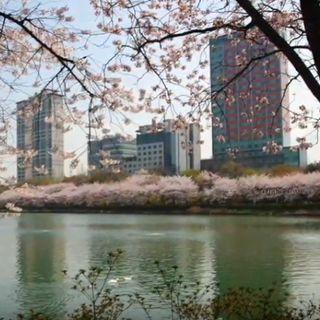 La Meditazione del fotografo - I ciliegi in fiore