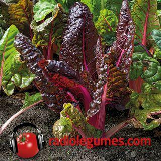 Les plus décoratifs des légumes : les bettes à carde