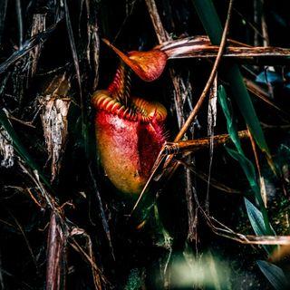 Nepenthes, le piante carnivore del Borneo