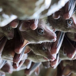 Creating chimeras for organ transplants and how bats switch between their eyes and ears on the wing