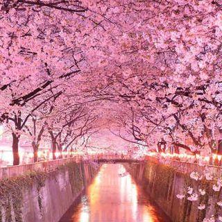 Sakura il fiore di ciliegio. Fiaba giapponese.