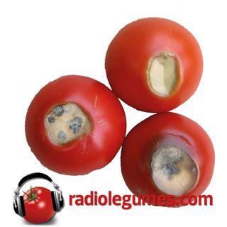 Tomates: désordres physiologiques, maladies et insectes ravageurs: des solutions