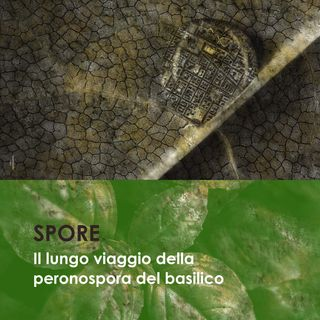 Il lungo viaggio della peronospora del basilico