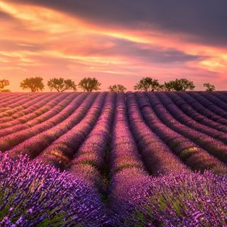 Relax Music - Lavender Backgrounds