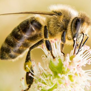 Ricki Leahy speaks with Mike Hosking about dying bees