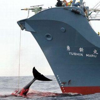 Endangered - Caccia ai balenieri giapponesi