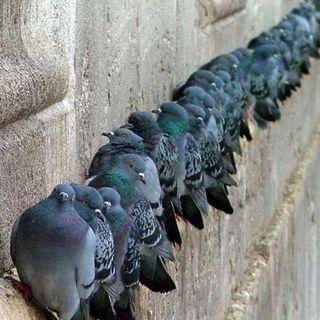 #sarnano Invasione di piccioni