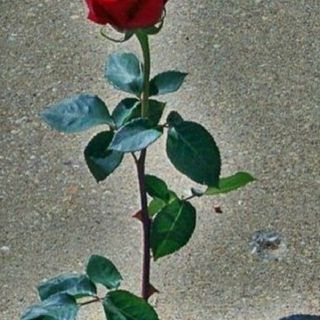 Monday Morning Thought : Embrace Being A Rose From The Concrete