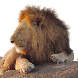 🔴Episodio 1: 🐱. Podcast Sobre Animales, Hoy Los Protagonistas Son Los Leones.