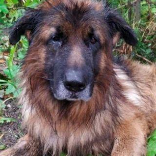 Kiriusha, el pastor alemán que sobrevivió después de ser sepultado vivo
