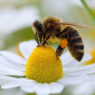 Si desaparecen las abejas ¿se extingue el ser humano?
