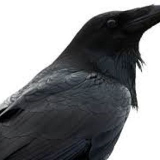 The Raven Barks