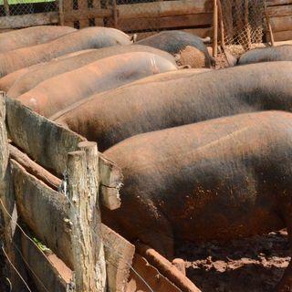 Cría de cerdos criollos en CIBA avileño