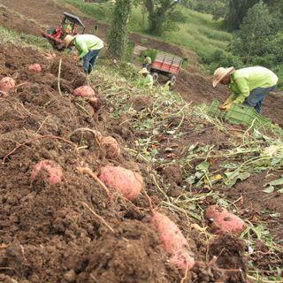Generalidades de los cultivos de Batata en el Caribe colombiano