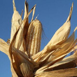 Nuevos materiales de maíz para la región Caribe