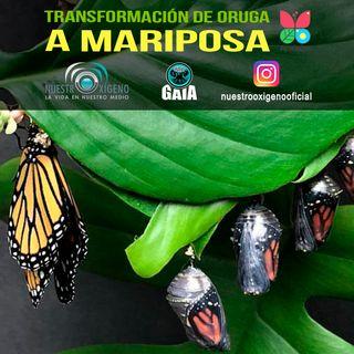 NUESTRO OXÍGENO Transformación de oruga a mariposa - María del Cármen Tamayo