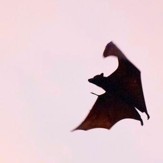 L'usignolo e il pipistello