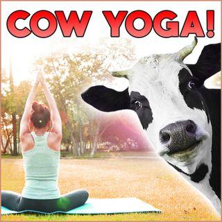 Cow Yoga!