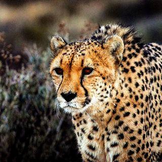 Il ghepardo persiano