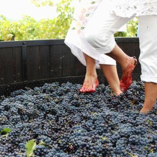 #cast Festa dell'Uva: Tutto quello che non sapevi dell'uva