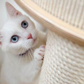 L'accoppiamento dei gatti in amore