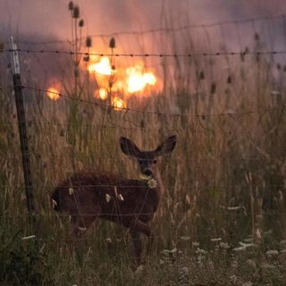 Animals of the wildfires